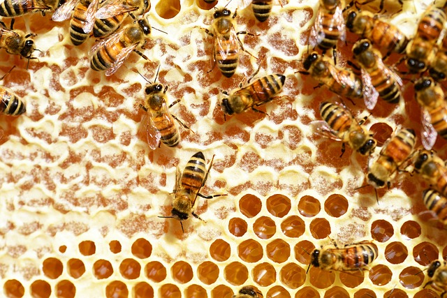 Honeybee hive sealant promotes hair growth in mice | Hair Loss News