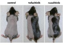 mice hair loss