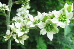 Veratrum_medicinal_plant