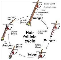 hair follicle stem cell