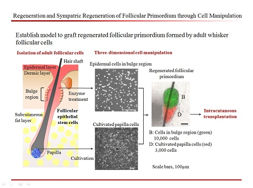 Regeneration and Sympatric Regeneration of Follicular Primordium through Cell Manipulation