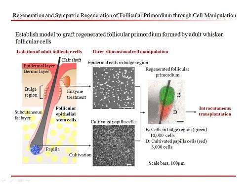 Regeneration and Sympatric Regeneration of Follicular Primordium through Cell Manipulation