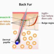 regenerating bioengineered hair